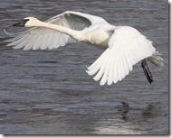 MN09 trumpeter swan 107_4185