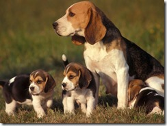 beagle-puppies